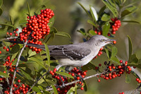 Mockingbird  Dahoon Holly Florida Wild Nature Birds  Leigh Wax