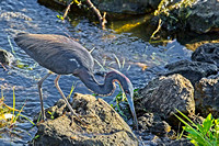 Tri-Color-Heron Sweetwater Wetland Florida Wild Nature Birds  Leigh Wax