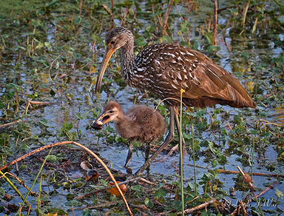 Limpkin Mom  Chick Sweetwater Wetland Florida Wild Nature Birds  Leigh Wax