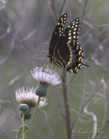 WO-9888-butterfly-milk thistle