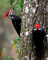 Pileated Woodpeckers- Florida Wild Nature Birds  Leigh Wax