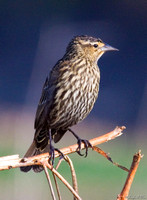 Female-Red-Wing Blackbird Florida Wild Nature Birds  Leigh Wax