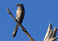 Scrub Jay Florida Wild Nature Birds  Leigh Wax