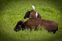 MAM-WO-1617-Bison With Cattle Egrets