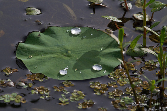Lily Pad Droplets Florida Wild Nature Wildflower Leigh Wax