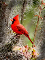 Cardinal Florida Wild Nature Birds  Leigh Wax