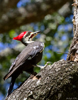 Pileated Woodpeckers Florida Wild Nature Birds  Leigh Wax