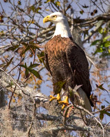 BPY-108-6805-Eagle On Branch