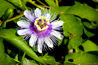 FLR-107-9471-Passion Flower with Bee
