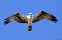 BPY-104-7826-Osprey In Flight #1