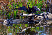 Gators-Anhinga Sharing Log Florida Wild Nature Reptiles Leigh Wax