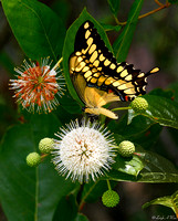 BFY-103-1539-Giant Swallowtail Butterfly