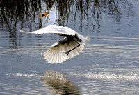 BWR-105-8246-Egret-Catches-Fish.
