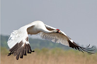 Whooping Crane-A rare and welcome guest