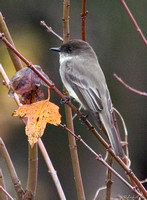 BSM-103-6241-EasternPhoebe Yellow Leaf.