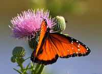 BFY-102-1102-Queen Butterfly on Milk Thistle