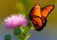BFY-101-1106-Queeen Butterfly on Milk Thistle