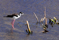 BWR-115-9872-(H)Black-necked Stilt