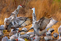 BLG-102-8478-Fighting-Sandhill Cranes.