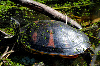 WO-0106-FL-Red Belly Turtle