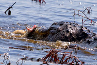 Gator Has Cottonmouth for Lunch. Florida Wild Nature Reptiles Leigh Wax
