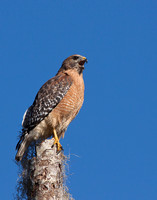 0366-Red Shoulder Hawk-On Stump.
