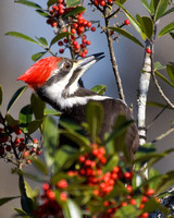BSM-113-8550-Pileated Woodpecker-Dahoon Holly