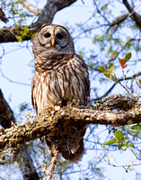 BPY-111-0877(V)-Barred Owl.