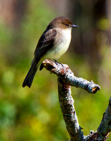 BSM-104-0155-Eastern Phoebe On Branch.