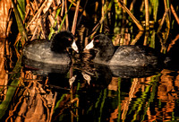 4368-Coots-Pair
