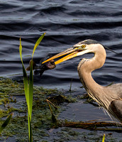 Great Blue Heron Fish Sweetwater Wetland Florida Wild Nature Birds  Leigh Wax