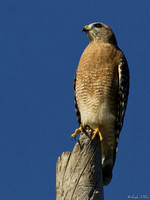 5182-Red Shoulder Hawk On Dead Tree