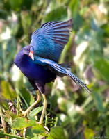 BWR-119-0660-Purple Gallinule.