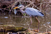 BWR-117-9261-Great Blue Heron With Fish.