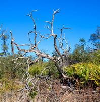 Weathered  Scrub Oak Gold Head Park Florida Wild Nature Landscape Leigh Wax